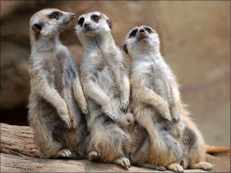 Quand les suricates cherchent leur nourriture, il y a toujours un veilleur pour prévenir la troupe, en cas de danger !