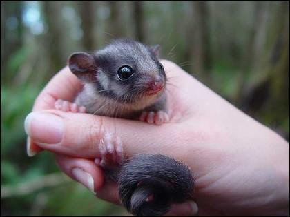 L'opossum est un marsupial, la mère élève ses petits dans une poche ventrale !
