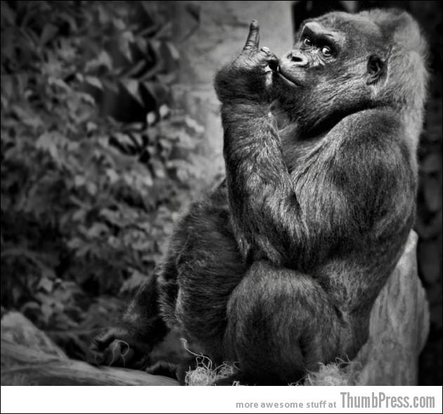 Depuis 2003, la population des gorilles du massif des Virunga est en forte augmentation !
