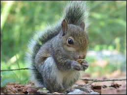 Est-ce que c'est un écureuil ?