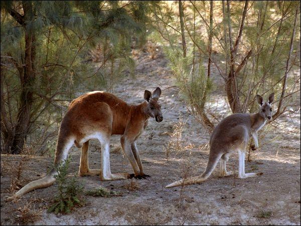 Dans ce sport, tout comme le kangourou, il faut savoir se servir de ses poings et de ses pieds !