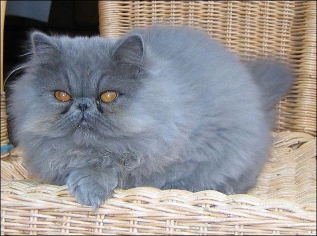 quizz connaissez vous bien les chats quiz chats. Black Bedroom Furniture Sets. Home Design Ideas