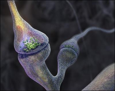Ce message nerveux est transmis au cerveau jusqu'au cortex visuel par le nerf optique puis par une chaîne de neurones. La transmission entre les neurones s'effectue au niveau des...