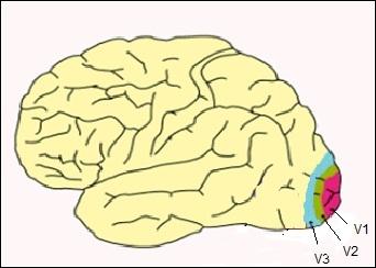 Quelles sont les trois aires cérébrales impliquées dans la vision ?