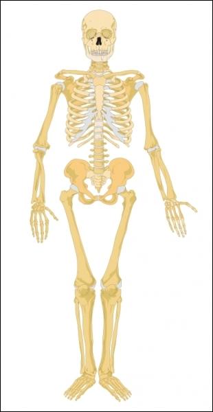 SVT : de combien d'articulations est composé le squelette humain ?