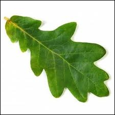 Nature : à quel arbre cette feuille appartient-elle ?