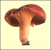Quel est ce champignon, toxique virulent ?