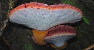 Quel est ce champignon classé comestible quand il est jeune, mais qui devient immangeable avec l'âge ?