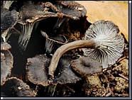 La pseudocraterellus cinereus ?