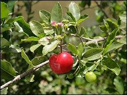 Fruit des Antilles, qu'est-ce que l'acerola ?