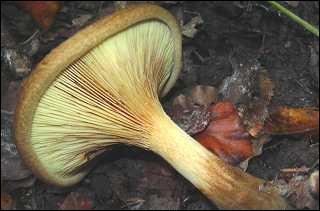 Quel est ce champignon mortel dont les toxines provoquent des symptômes cardio-vasculaires pouvant aller jusqu'à l'hémolyse, appelé parfois  chanterelle brune  ?