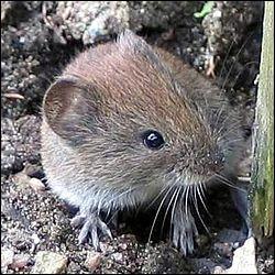 Quel est ce petit rongeur que vous rencontrerez peut-être s'il sort de son sous-terrain ?