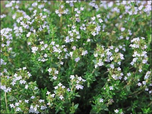 Quelle plante est nommée Farigoule en Provence ?
