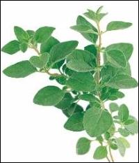 Quelle est cette plante aromatique indispensable à la pizza napolitaine ?