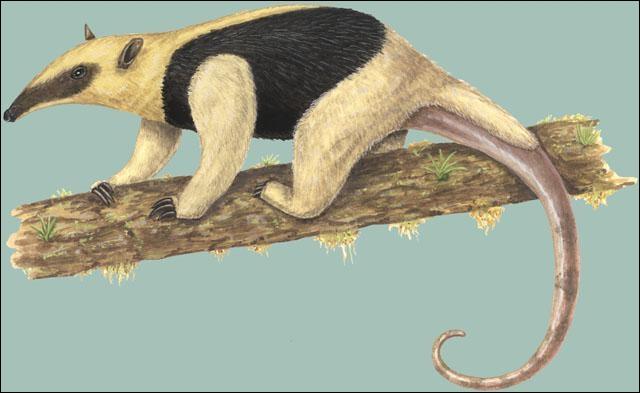 Moins connu, mais identifiable tout de même, le petit fourmilier ou tamandua !