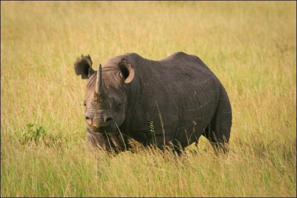 Sur cette photo, vous pouvez admirer le rhinocéros noir, il a une différence anatomique avec le rhinocéros blanc, due à son alimentation : la forme de ses lèvres !