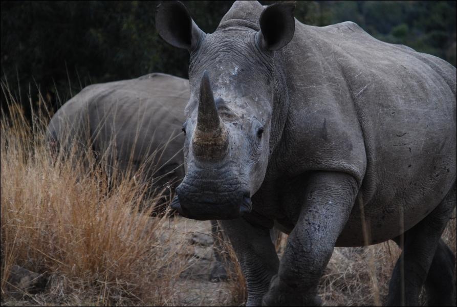 Partant de ce principe, je me vois obligé de vous affirmer que le rhinocéros de cette photo est un rhinocéros blanc !