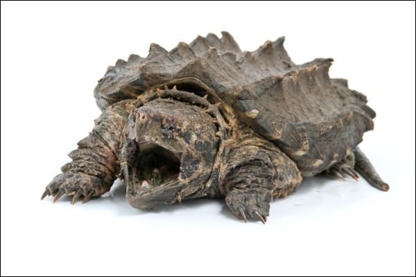 Regardez-la bien, elle est facilement identifiable, c'est la tortue matamata !