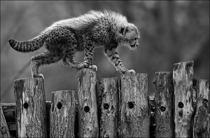 Que ce soit dans le domaine terrestre, maritime ou aérien, le guépard est reconnu pour être l'animal le plus rapide du monde !