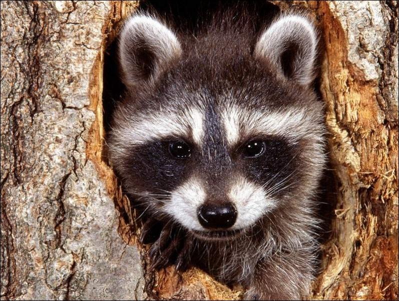 Il est facile à identifier, c'est le petit panda roux !