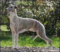 Lui aussi est connu dans les cynodromes, mais il est moins rapide que le greyhound, qui est-il ?