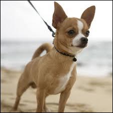 Ce chien est caractérisé par sa très petite taille, c'est un...