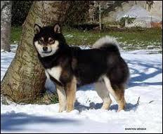 Ce petit chien asiatique est un...