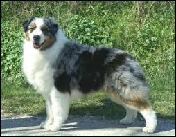 Ce chien de berger est un...