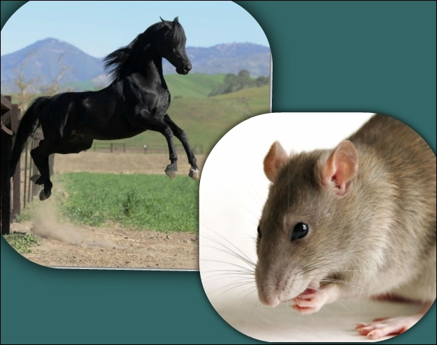 Quel est LE point commun entre un cheval et un rat ?