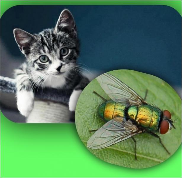 Quel est LE point commun entre un chat et une mouche ?