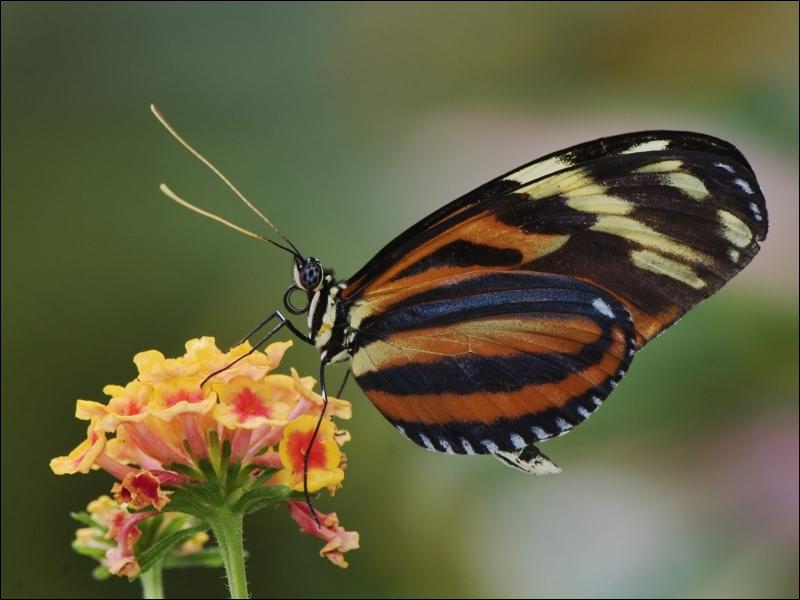Les papillons goûtent le pollen des fleurs avec :