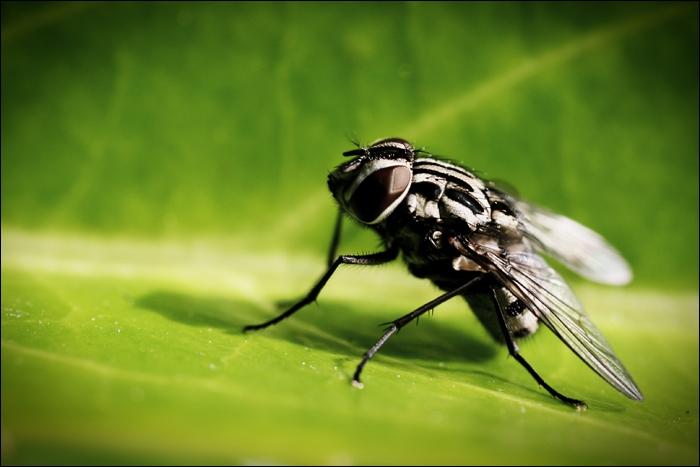 Le petit de la mouche se nomme :