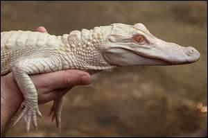 La probabilité de voir des alligators albinos en France est plutôt rare ! Votre seule chance est de vous rendre à...