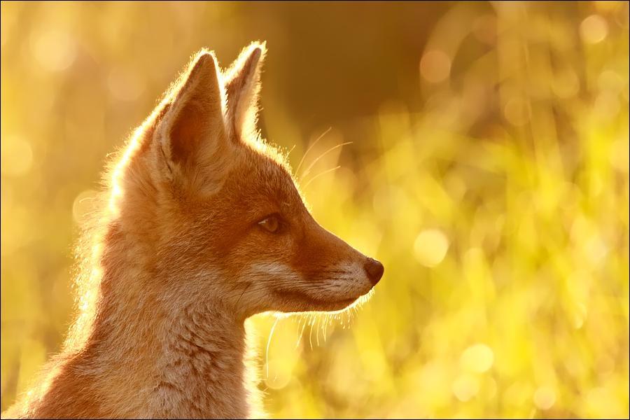 Dans ce pays, depuis le 18 février 2005, la chasse à courre de cet animal est interdite !