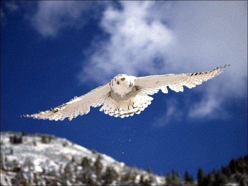Européens, nous l'appelons chouette, américains, ils le nomment hibou, le harfang des neiges est l'emblème aviaire ...