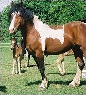 Ce cheval est. .