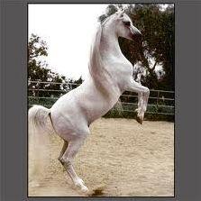 Races - Poneys et chevaux