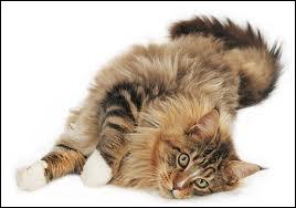 De quelle race est ce chat ?
