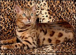 Et pour finir, quelle est la race de ce chat ?