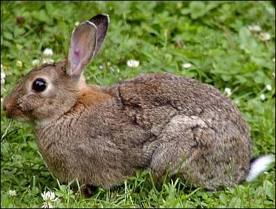 Qu'avait donc fait d'extraordinaire le lapin chanté par Chantal Goya ?