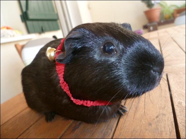 Quel est le principal caractère d'un cochon d'Inde en général ?