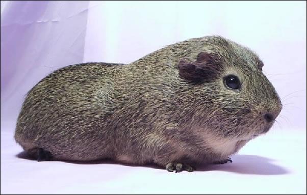 Comment se nomme la race de ce cochon d'Inde présenté sur cette photo ?