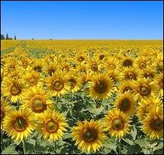 Nature : les tournesols s'orientent vers le soleil, on peut donc dire qu'ils sont...