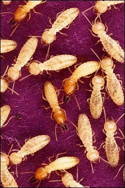 Quel âge pensez-vous que puisse avoir la plus grande termitière connue dans le monde ?