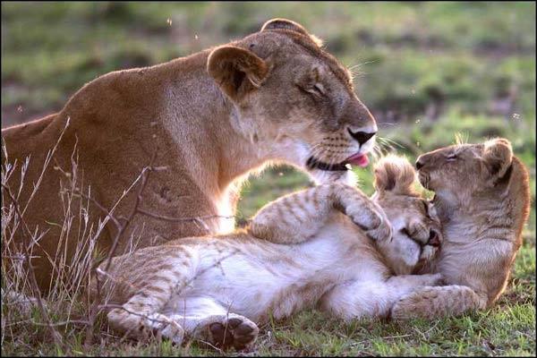 Un lion vivra 15 ans à l'état sauvage, mais en captivité il peut vivre :
