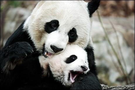 En captivité, un panda géant vivra 30 ans, tandis que dans la nature il vivra :