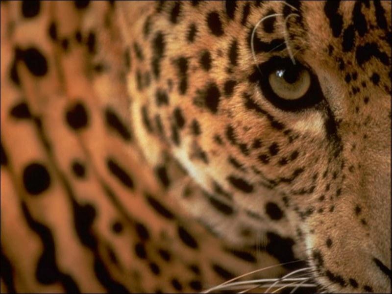 Une panthère peut vivre 10 ans en captivité, mais à l'était sauvage elle vivra :