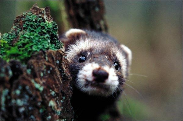 Un putois peut vivre environ 5 ans dans la nature, tandis qu'en captivité il vivra :