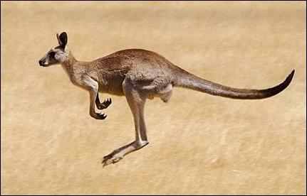 Pour finir, le kangourou vit en captivité environ 25 ans, mais dans la nature combien d'année vit-il ?