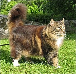 De quel pays le chat Norsk skaugkatt provient-il ? De...